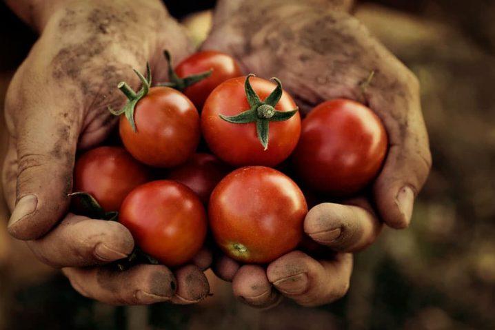 Duas mãos em concha segurando tomates cereja recém colhidos.