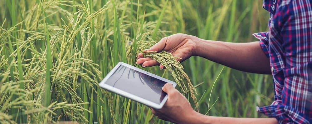 Uma pessoa olhando uma plantação de arroz enquanto olha em seu tablet um post sobre seguro para a colheita.