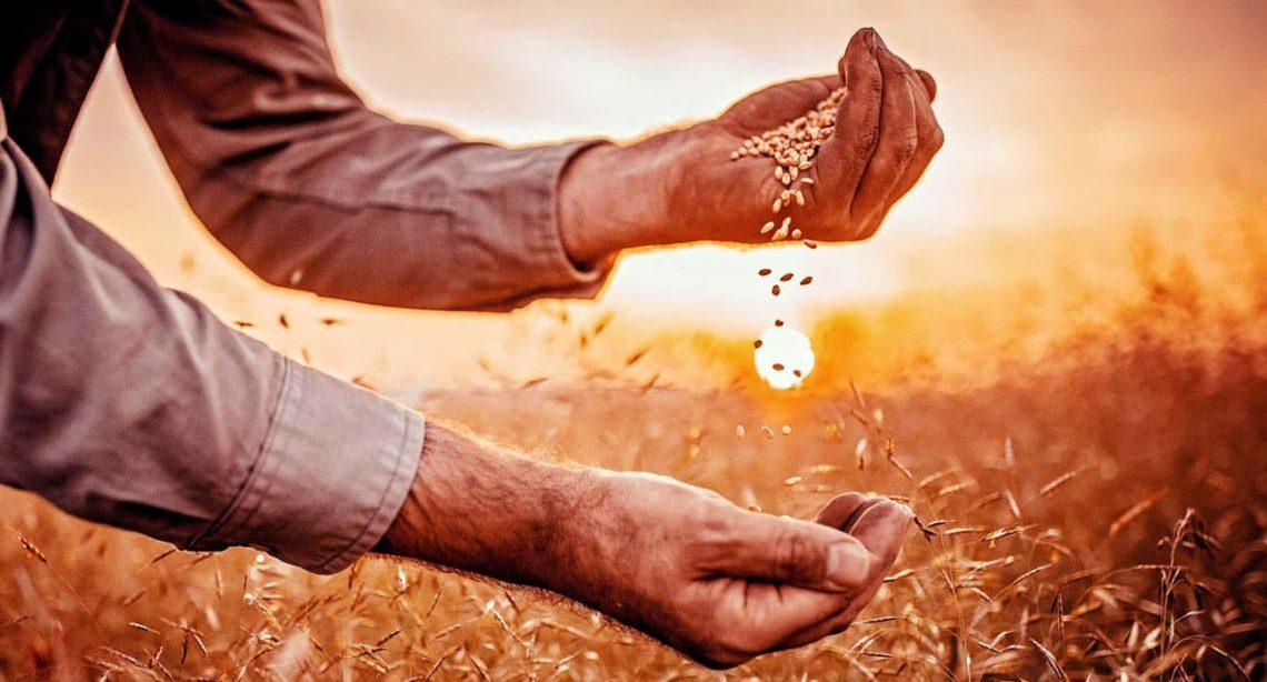Uma mão despejando grãos na outra mão. Por do sol ao fundo.